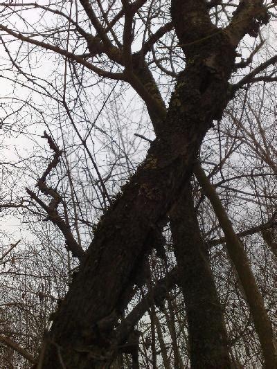 bäume fällen wann erlaubt f 252 r mich ein r 228 tsel gt rhamnus cathartica