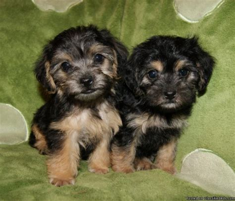 pictures yorkie poo puppies yorkie puppies for sale 200 breeds picture