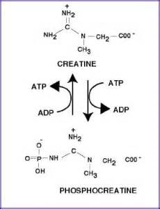 creatine term effects is creatine term effect worth the term effect