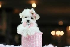 maltese puppies for sale in indiana teacup yorkie puppy for sale in indiana adorable teacup puppies for sale