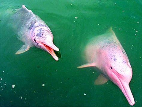 amazon river dolphin pink dolphin boto or albino 27 pics animal s look