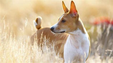 anti allergy dogs hypoallergenic breeds allergies breeds picture