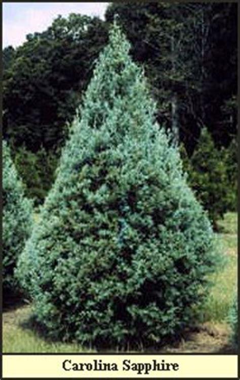 best christmas tree farm in louisiana home www steeleschristmastreefarm