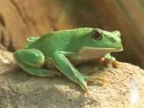 imagenes de ranas blancas las ranas en mazatlan youtube