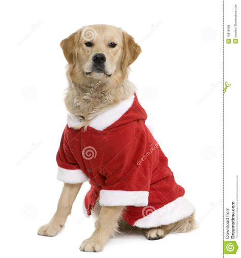 golden retriever coats golden retriever in santa coat royalty free stock photo image 13816485