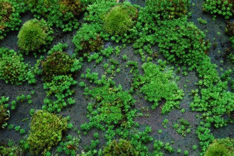 how many types of mosses are there understanding the growth rate of pleurocarps versus acrocarps moss and gardens
