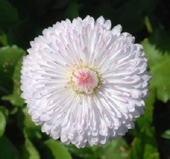 60 Biji Benih Wortel Chantenay Cored benih white 10 biji non retail