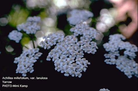 10ml yarrow chamazulene blue achillea plant information