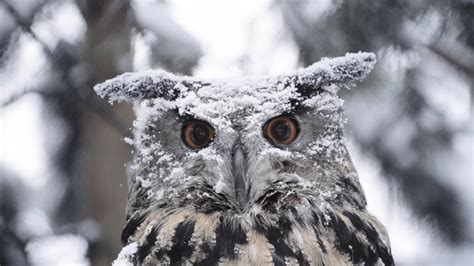 Lq 18 Cp Owl snowy owl wallpapers wallpaper cave