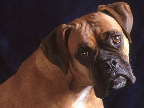 bull mastiff puppy bullmastiff dogs pets and docile