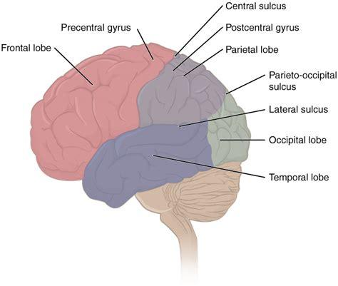 telencephalon anatomie und funktion des gro 223 hirns