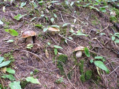 wann gibt es steinpilze pilze 2013 seite 8 fischerforum ch