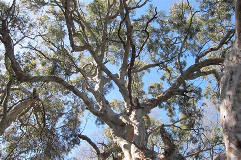 eucalyptus trees oaks vs eucalyptus is it a slam dunk for the natives