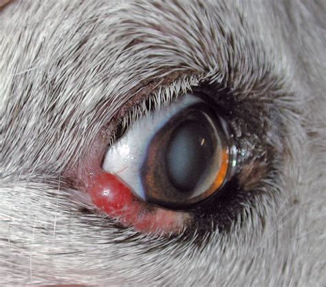 blepharitis in dogs where skin meets eye diagnostic dilemma of periocular skin disease vet times