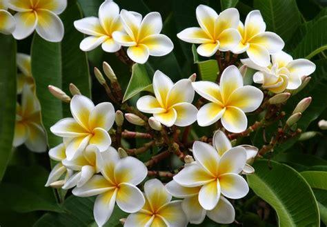wallpaper akar daun manfaat bunga kamboja untuk kesehatan