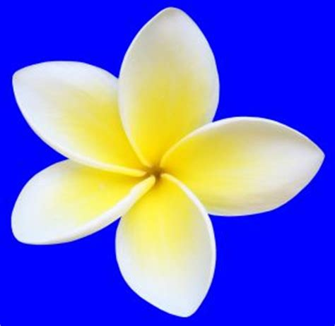 design bunga kamboja bunga kamboja auto design tech