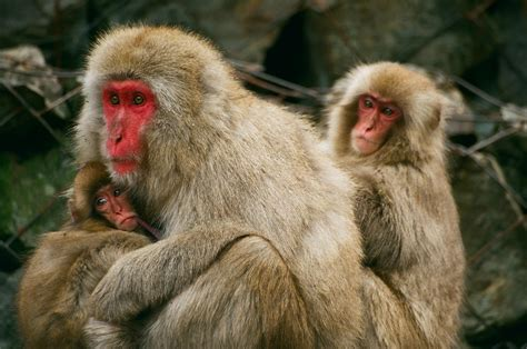 Picture 2 of 12 - Japanese Macaque (Macaca Fuscata ...