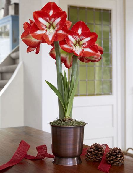 stargazer red  white potted amaryllis gardeners supply