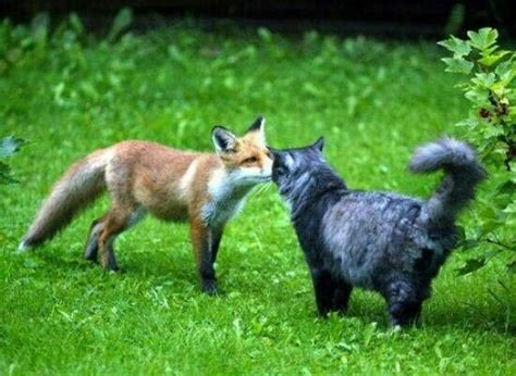 is a fox a cat or fox cat foxy cats and foxes
