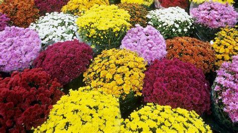 significato dei fiori margherita crisantemo linguaggio dei fiori crisantemo