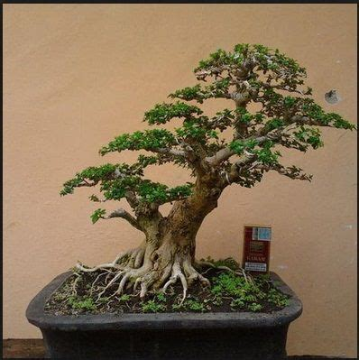 Bakalan Bonsai Lohansung 62 best images about bonsai on models home