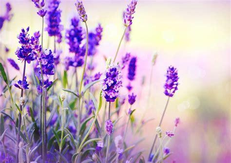 lavendel im garten überwintern lavendel schneiden wichtige pflegetipps f 252 r die sch 246 ne