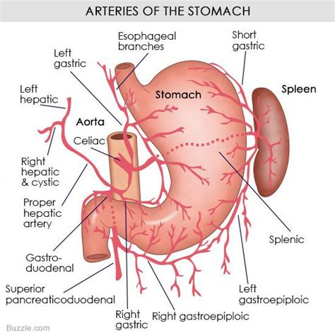 a diagram of the stomach 1000 images about diagramatically speaking on