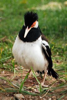 Harga Pakan Burung Jalak Suren menu makanan sehat burung jalak suren