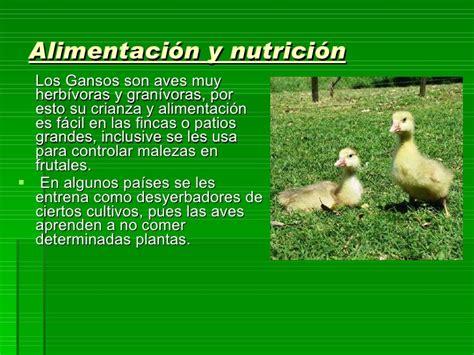 alimento para patos domesticos aves no tradicionales guineas patos y gansos