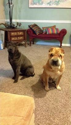 puppies for sale in st george utah shar pei for sale puppies for sale