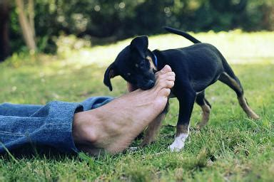 when do puppies stop biting and chewing tips to stop your from chewing things part 2 pawsitive solutions