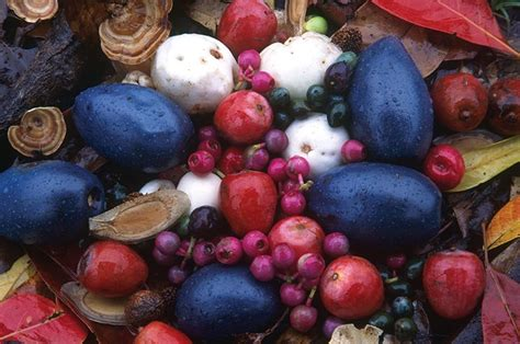 diet and ecology cassowaryrecoveryteam