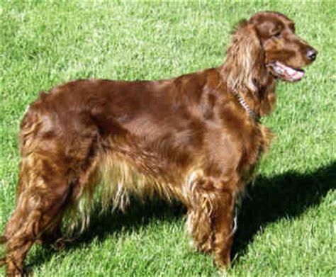 irish setter dog grooming india irish setter breeders grooming dog puppies