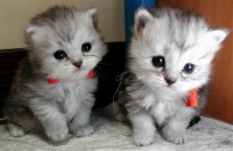 twin cats twin kittens daily cuteness