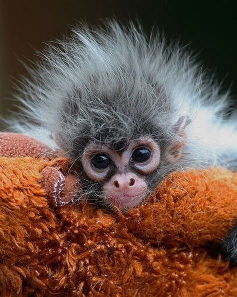 A Is For Alber And Adorable by 16 Of The Cutest Baby Monkeys You Ll See