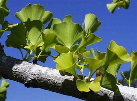 tanaman obat kuat herbal  kejantanan pria