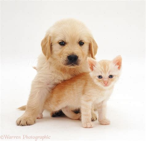 6 week golden retriever pets golden retriever pup 6 weeks and kitten photo wp26209