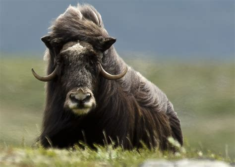 Ox Natgeo Wildd 40 best images about nature faune d europe on