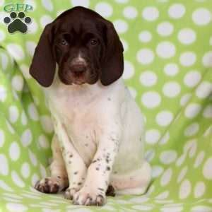 german shorthaired pointer puppies pa german shorthaired pointer puppies for sale greenfield puppies