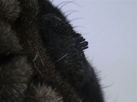 my pugs nose is my pug is developping growths on his nose more like an extension of the existing
