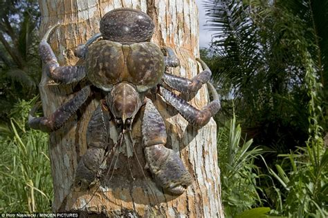 coconut crab christmas island tourist mark pierrot pictured with giant