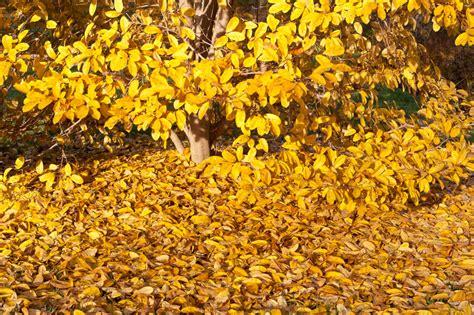 kirschlorbeer schneiden herbst magnolie im herbst schneiden 187 eine gute idee