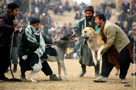 dogs fighting afghan fighting