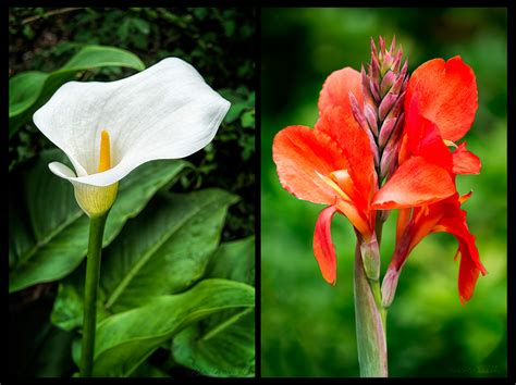 lilies or lillies calla versus canna lilies