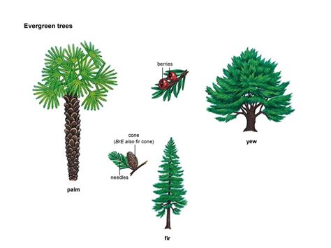 define tree fir noun definition pictures pronunciation and usage