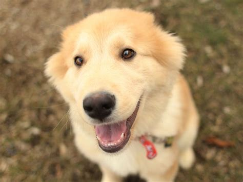 siberian husky or golden retriever 25 best ideas about golden husky on husky retriever mix puppies and