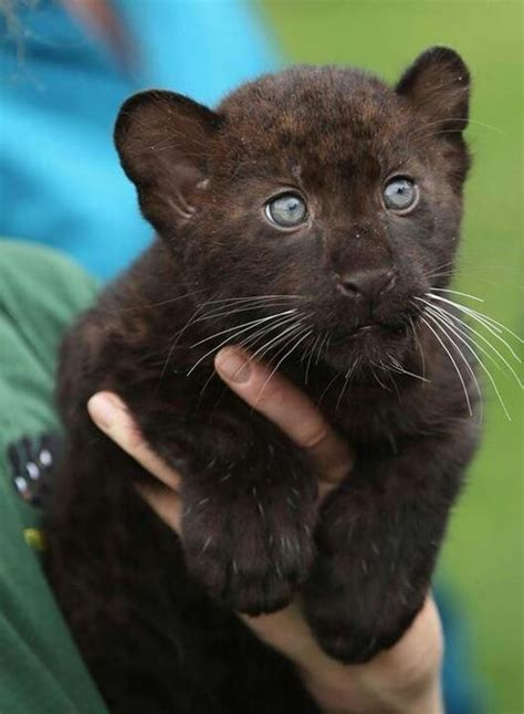 what do you call a baby jaguar baby black jaguar dogs cats and other animals