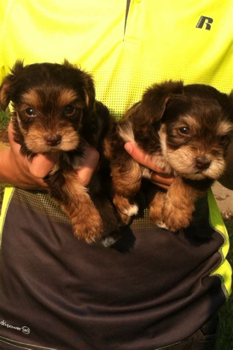 yorkie poo puppies for sale in tennessee puppies for sale yorkiepoo yorkiepoos f category in morrison tennessee