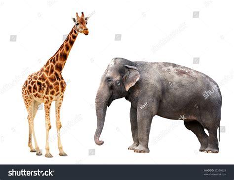Giraffe Elephant Isolated Stock Photo 27270628 - Shutterstock