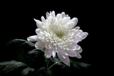 significato dei fiori giapponesi fiori giapponesi significato significato fiori